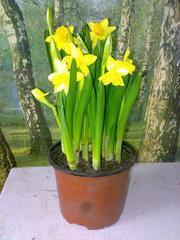 Продам крокусы,  нарциссы,  тюльпаны в горшках к 8 марта.