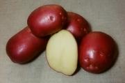 продам картофель посадочный сорт Роко