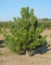 Новогодние елки (сосна) оптом