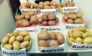 семенной ранний картофель