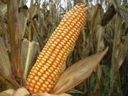 продам семена кукурузы Любава,  Розівський,  Солонянський