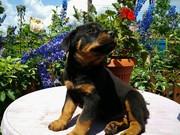 Продам щенки ротвейлера,  родились 28.04.2015