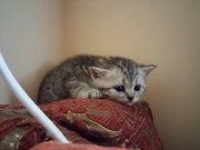 Котята британцы ищут новый домик
