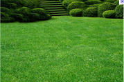Трава для пасовищ,  парків,  садів