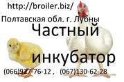 Суточные цыплята бройлера КОББ 500
