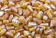 Гибриды кукурузы: Выход 181,  Кремень 200СВ,  Оржица 237