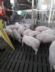 Реалізуємо поросят зі свинокомплексу