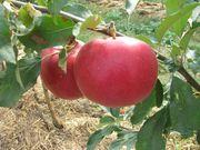 Яблука та груші з власного саду